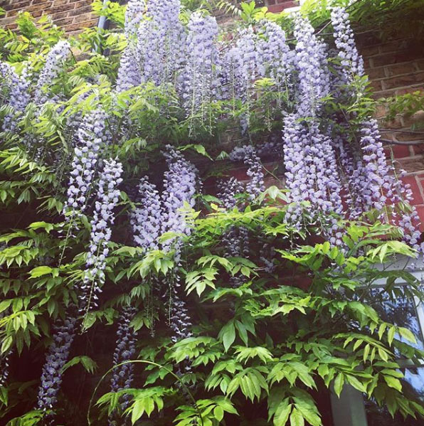 Holly-Willoughby-wisteria